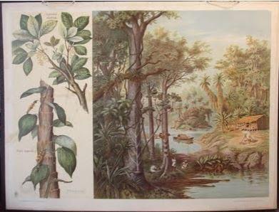 Pfeffer    Siphonia elastica & Piper nigrum
