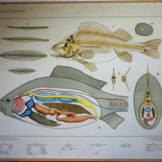 Bijplaat : Zoetwatervissen (= achterkant van Vogels in de winter)